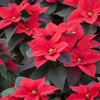 Biocontrol and Integrated Crop Management products for your poinsettia plant, poinsettia flower